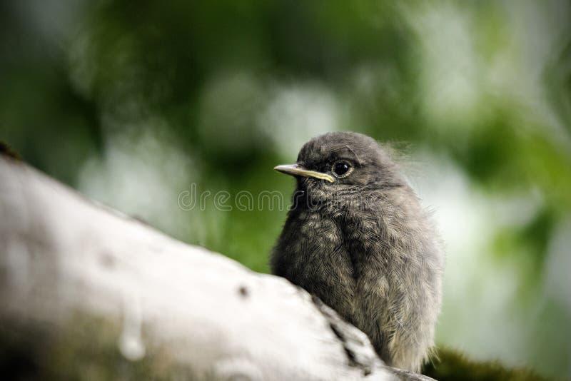 Redstart negro joven foto de archivo libre de regalías