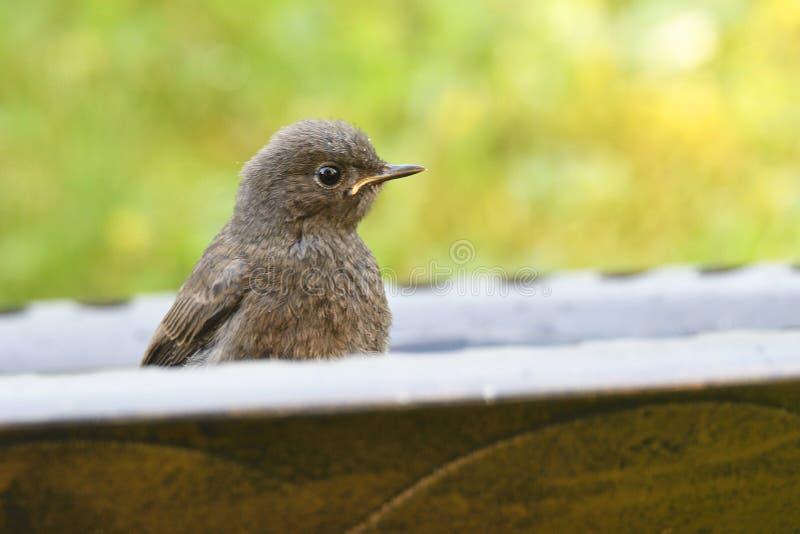 Redstart negro joven fotografía de archivo libre de regalías