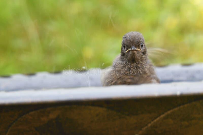 Redstart negro joven foto de archivo