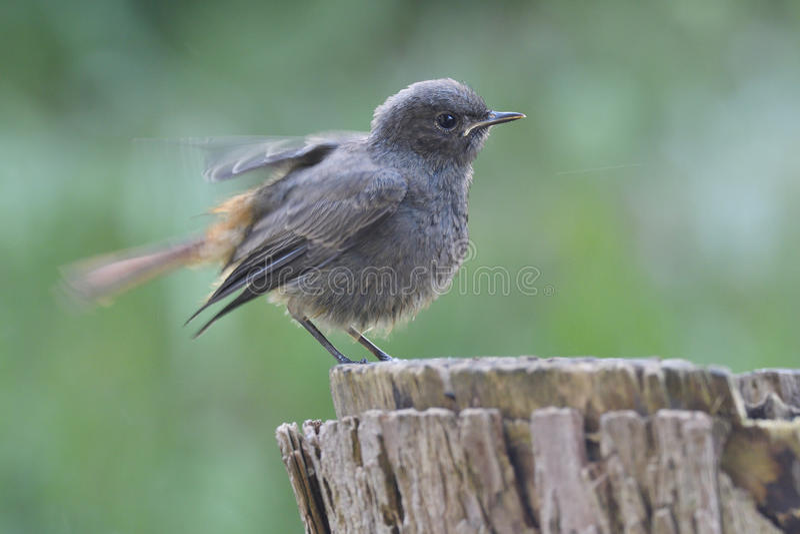Redstart negro joven fotos de archivo libres de regalías