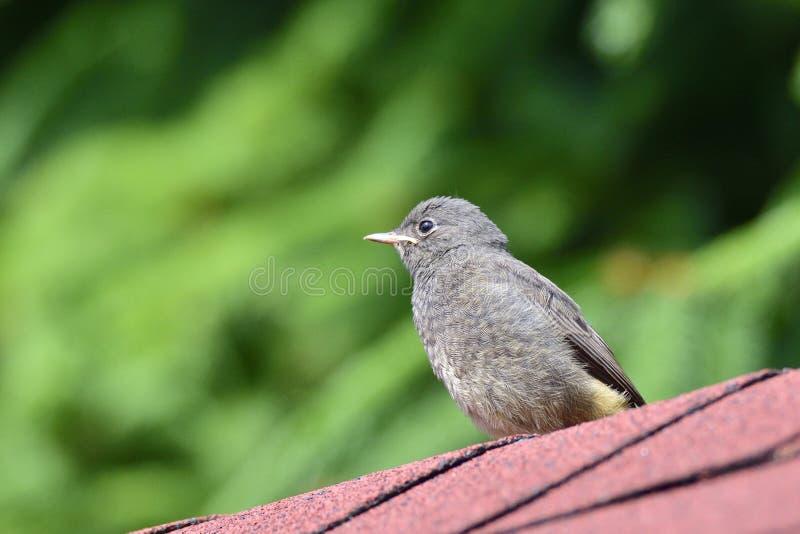 Redstart negro joven fotos de archivo