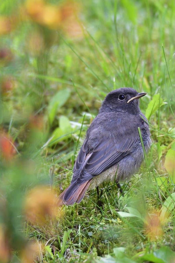 Redstart negro joven fotografía de archivo