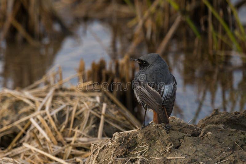Redstart negro joven imagen de archivo