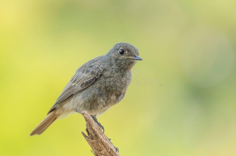 Redstart negro - ochruros del Phoenicurus fotografía de archivo libre de regalías