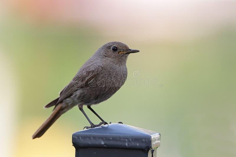 Redstart nero (ochruros del Phoenicurus) fotografie stock libere da diritti