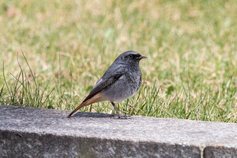 Redstart preto que senta-se na beira de pedra no fundo verde fotografia de stock royalty free