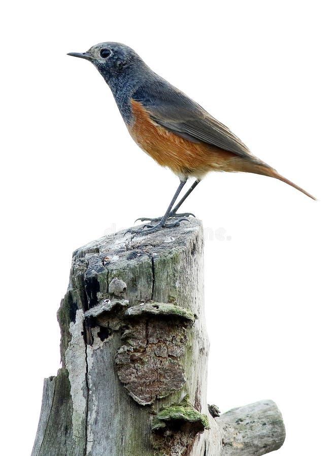 Redstart royalty-vrije stock foto
