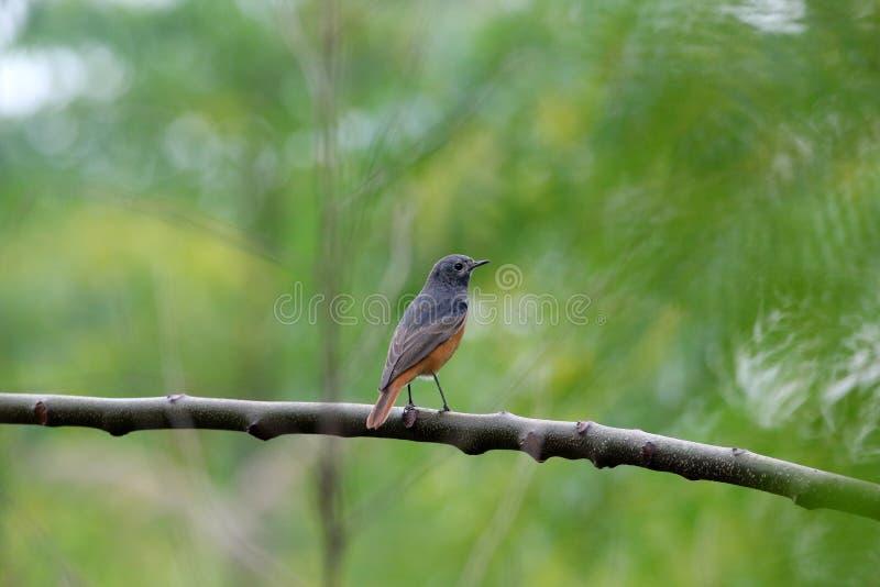 Redstart stock foto's
