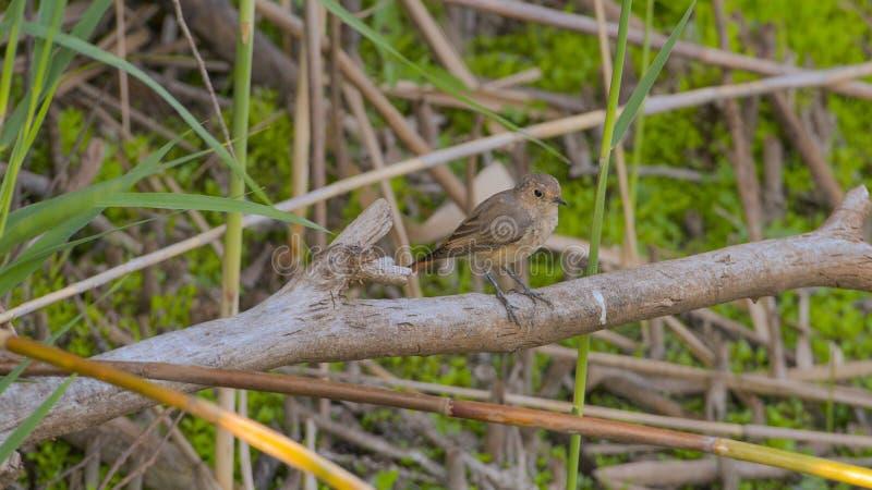 Redstart s'est étendu sur la branche dans le marais photos libres de droits