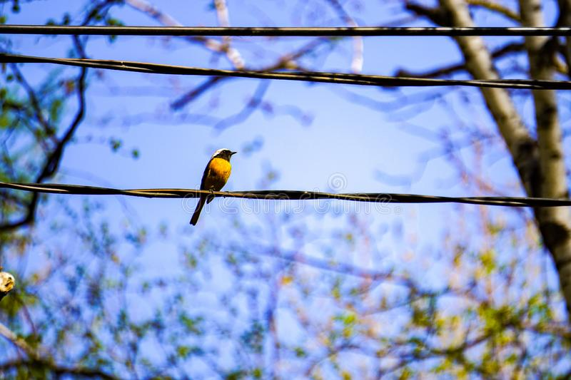 Redstart sits on a wire in spring park, blue sky. Redstart sits on a wire in spring park, silhouette of a bird in the sky on a branch, bird with orange breast stock image