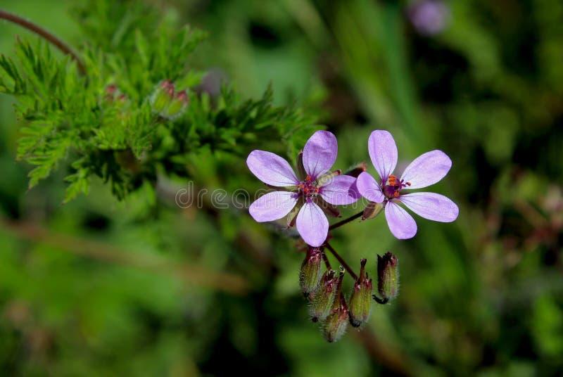 Redstemfilaree, redstem de rekening van de ooievaar, gemeenschappelijke ooievaar-rekening of pinweed stock foto's