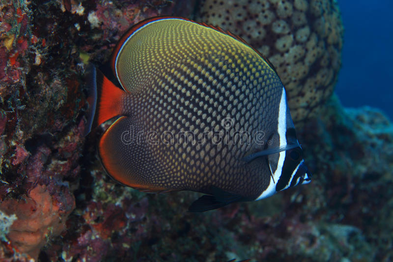 Redtail butterflyfish stock foto