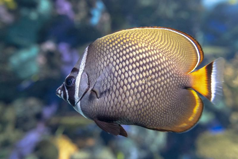 Redtail butterflyfish Chaetodon collare - coral fish. Close up royalty free stock images
