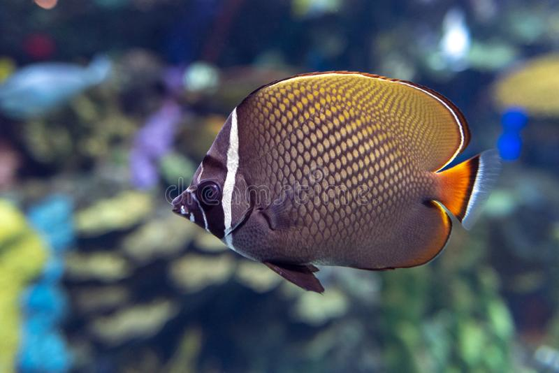Redtail butterflyfish Chaetodon collare - coral fish. Close up stock image