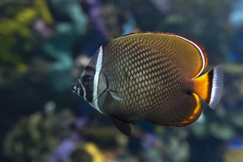 Redtail butterflyfish Chaetodon collare - coral fish. Close up stock photos