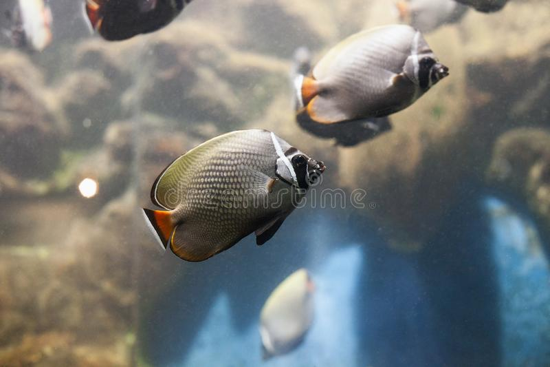 Redtail butterflyfish Chaetodon collare fish. Redtail butterflyfish. Chaetodon collare fish swimming in aquarium stock photos