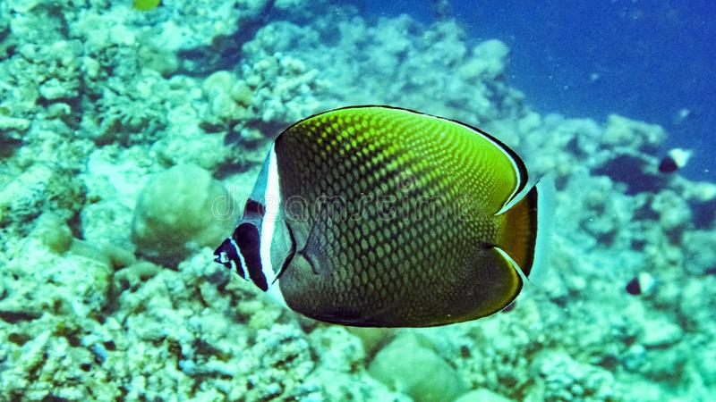 Redtail butterflyfish Chaetodon collare in the Maldives. Redtail butterflyfish Chaetodon collare in the Maldives stock photography