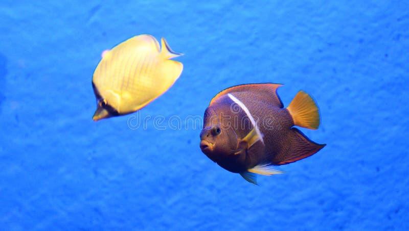 Redtail butterflyfish en koningszeeëngel stock fotografie