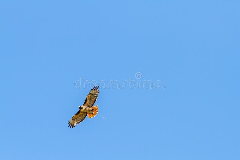 Redtail Hawk Clutches Prey imagenes de archivo