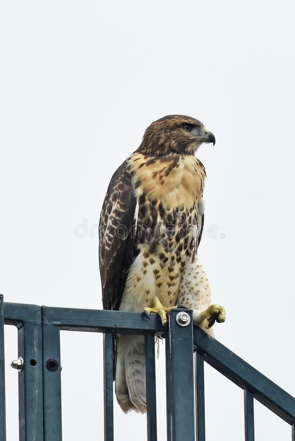 Redtail Hawk Looking Cool image libre de droits