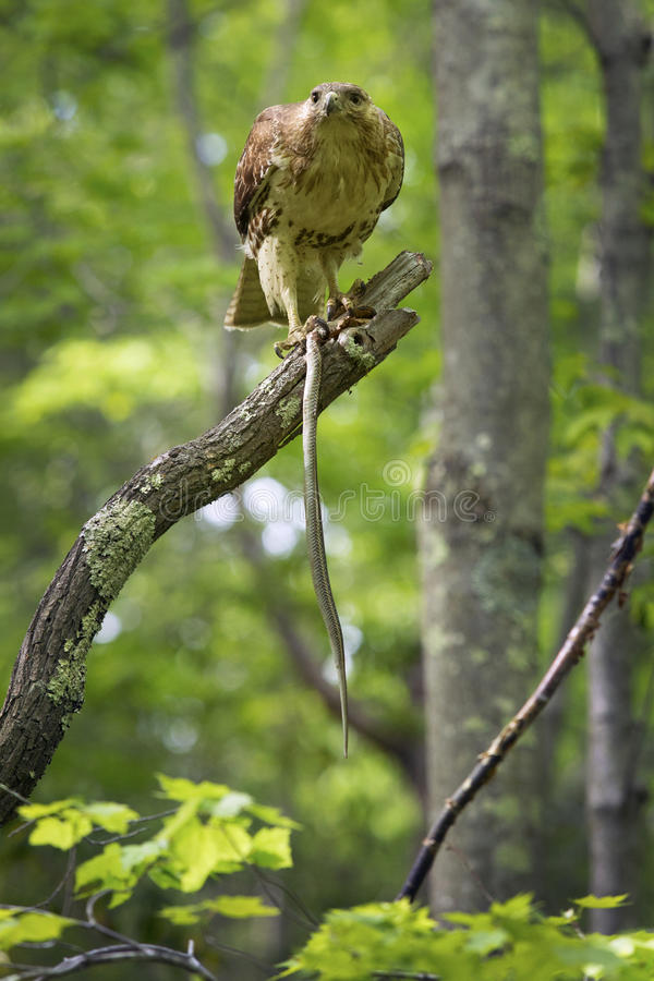Redtail hawk in a tree, feeding on a garter snake. Red tail hawk feeding on a garter snake in a tree at Case Mountain reserve in Manchester, Connecticut royalty free stock images