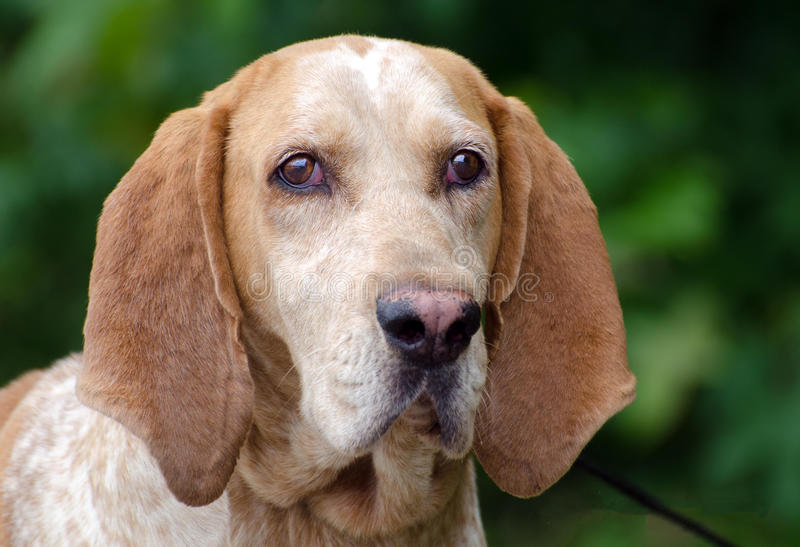 American English Coonhound Stock Images Download 6 Royalty Free Photos
