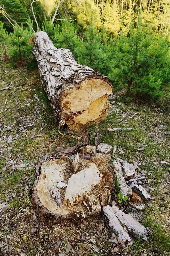 Reduzca el árbol de pino en arbolado Tocón de árbol y tronco derribado en bosque conífero imperecedero fotografía de archivo