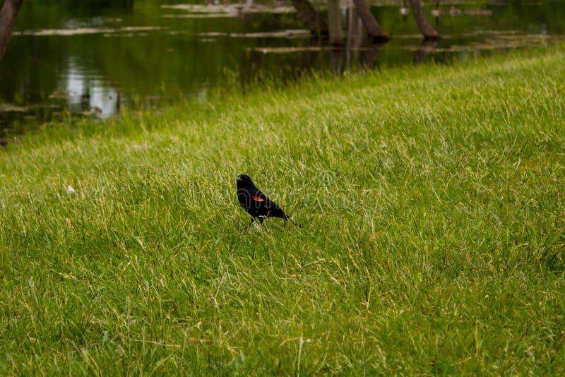 Redwing Blackbird walking stock photos