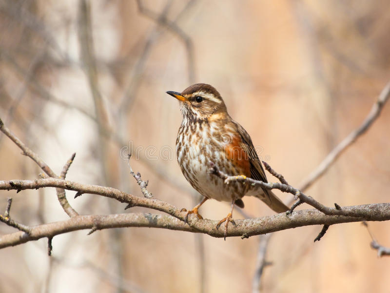 Redwing On The Branch Stock Photo