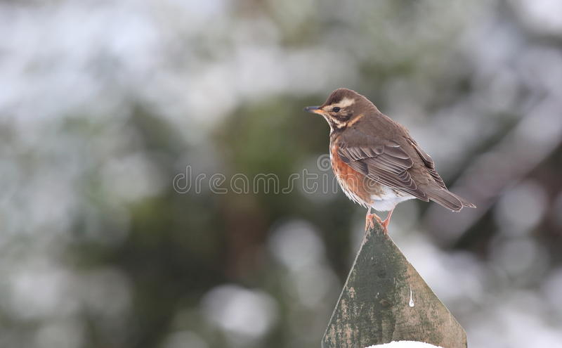 Redwing Thrush. Stock Images