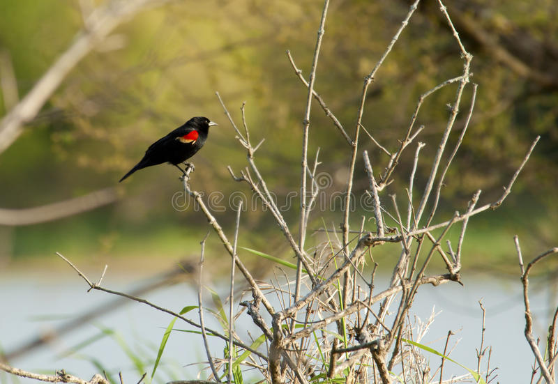 Redwinged Blackbird sits on a branch. royalty free stock image