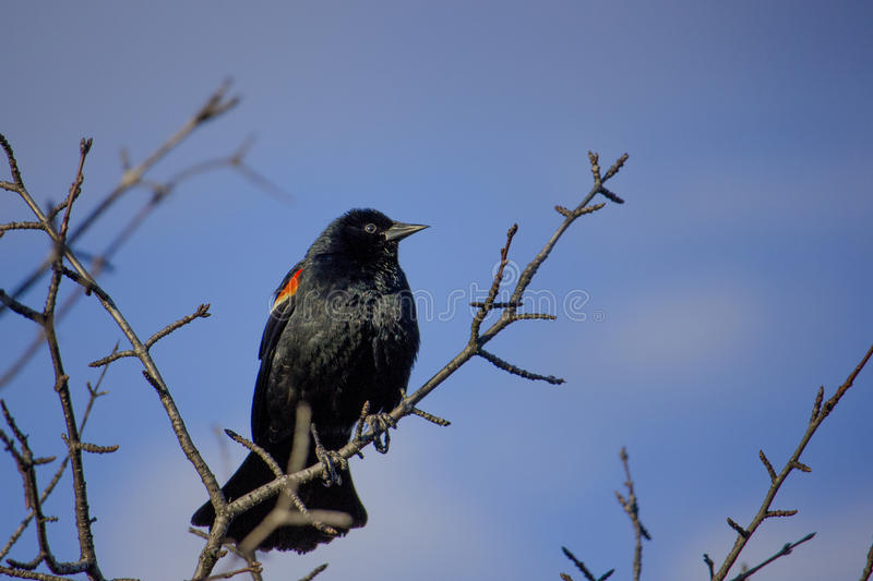 Redwinged Blackbird on Tree royalty free stock images
