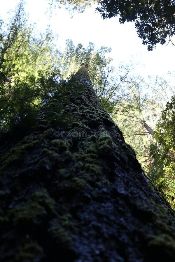 Redwood побережья Калифорнии стоковая фотография