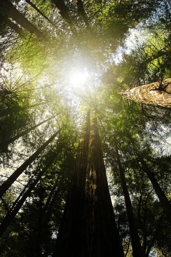 redwood пущи стоковые фотографии rf