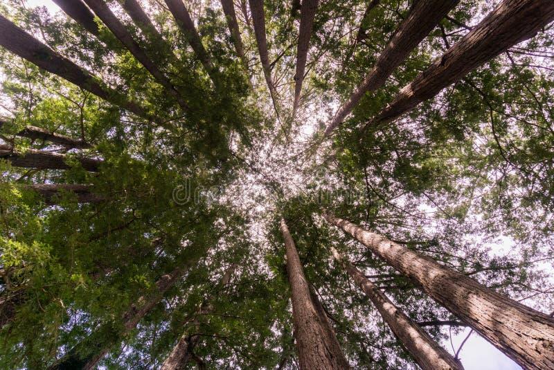 redwood пущи california стоковые фотографии rf