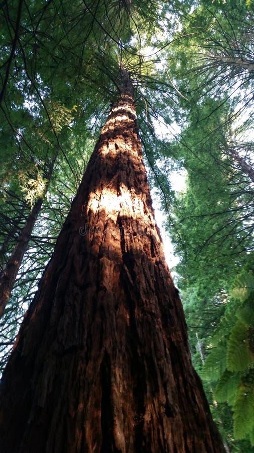 redwood στοκ φωτογραφία