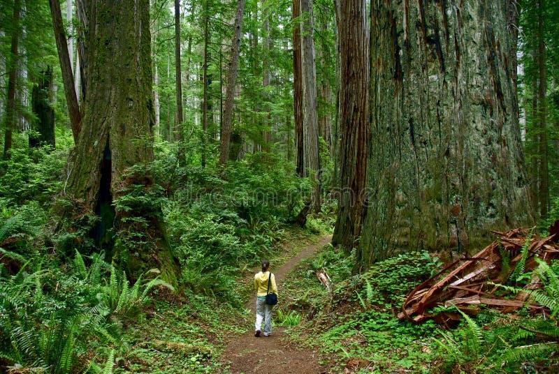 redwood стоковые фотографии rf