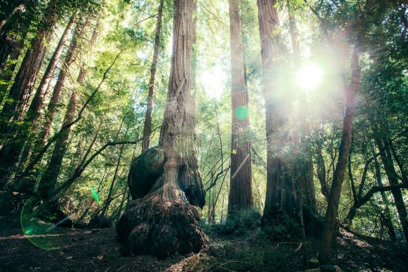redwood royalty-vrije stock afbeelding