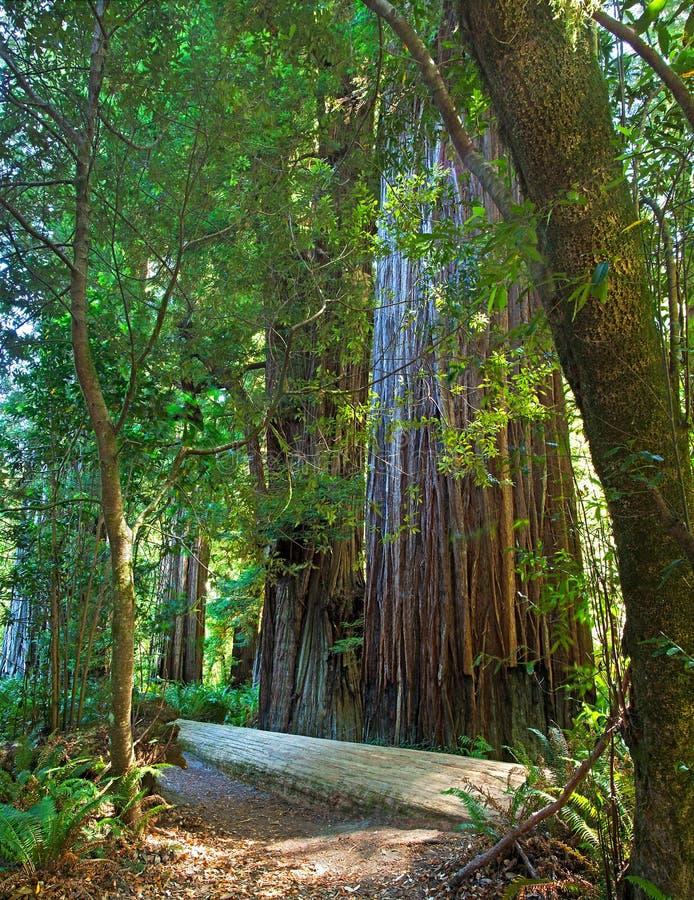 redwood drzewo fotografia royalty free