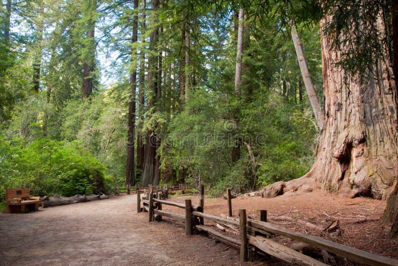 Redwood drzewo zdjęcia royalty free