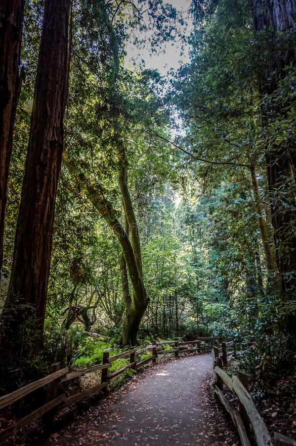 Redwood forest in California royalty free stock photo