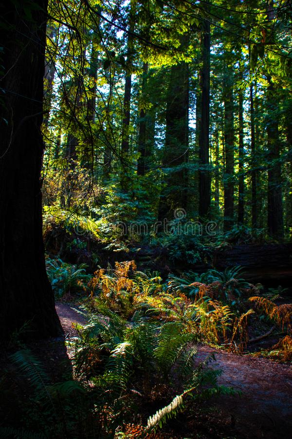 Redwood Forest Ferns royalty free stock photo