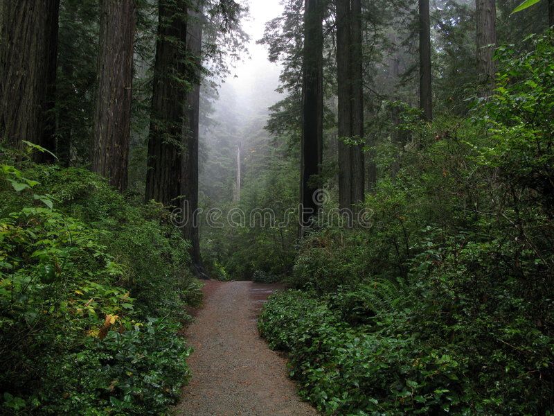 Redwood Forest Path stock photo