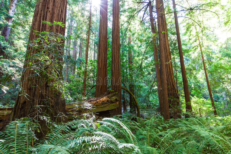 Redwood forest. Picture of coastal redwood forest in california royalty free stock image