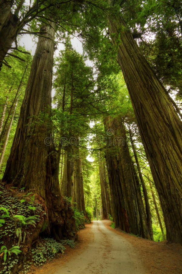 Free Redwood Forest Road Stock Images - 22030224