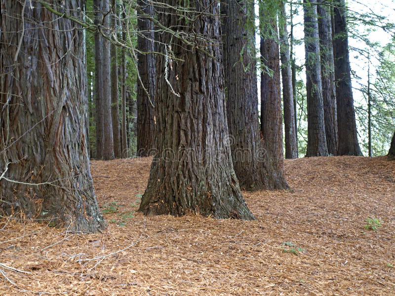 Download Redwood forest stock image. Image of zealand, environment - 31353197