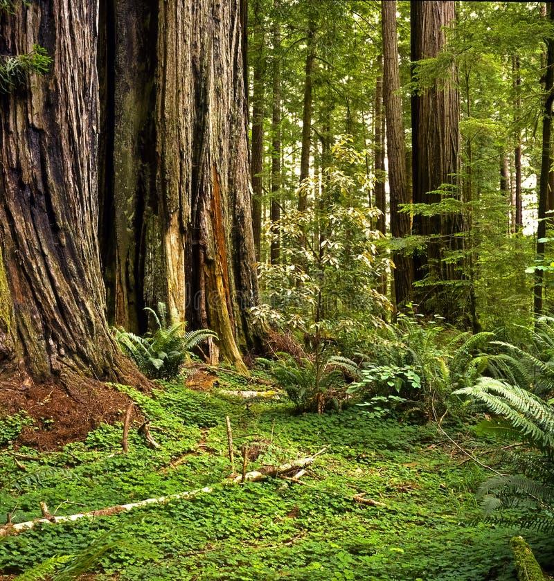 redwood forext стоковая фотография