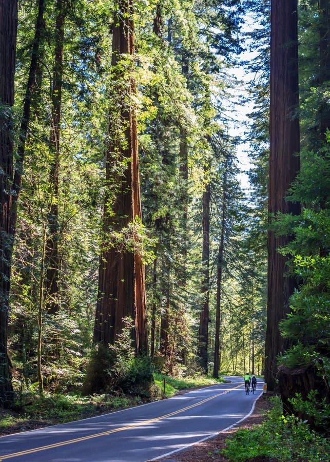 Redwood kolarstwo na alei giganty zdjęcie royalty free