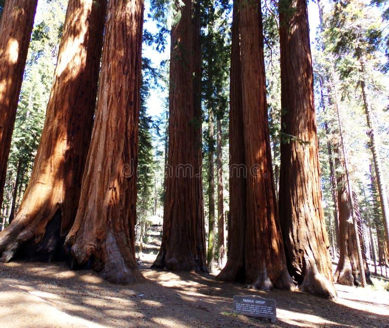 Redwood las, Parker grupa, sekwoja park narodowy, Kalifornia fotografia stock