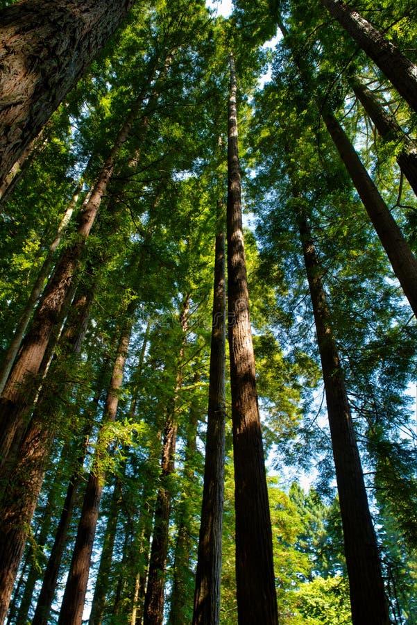 Redwood las - wysocy szalunki obrazy royalty free